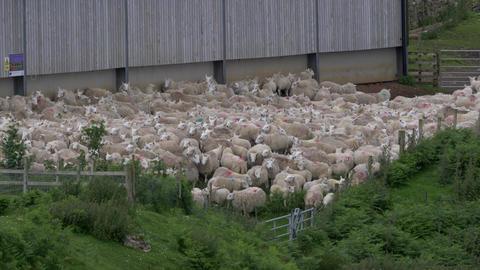 Huge Sheep Herd, Scotland Live-Action