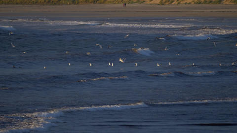 Flock Of Seagulls At Scottish Beach Footage