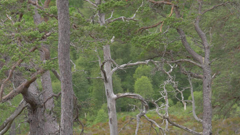 Glen Affric Forest, Scotland Footage