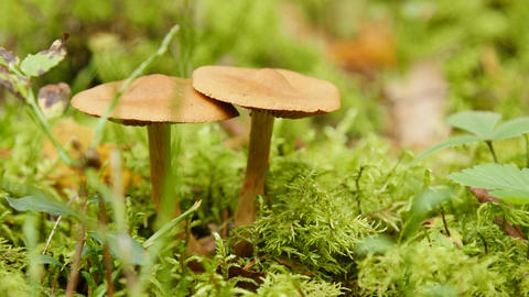 Close up of two mushrooms in forest Footage