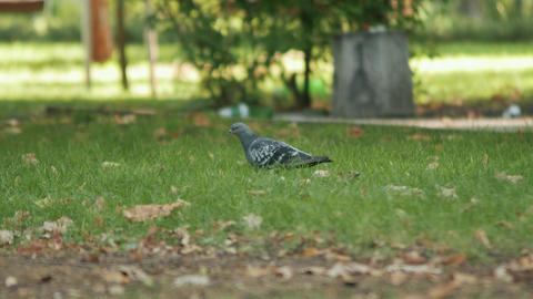 Pigeon looking for food on the green grass ビデオ