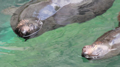 Seals pair swims in water Stock Video Footage