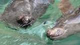 Seals Pair Swims In Water stock footage