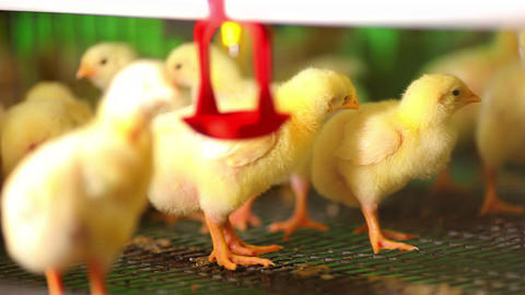 beautiful chickens at the farm Stock Video Footage
