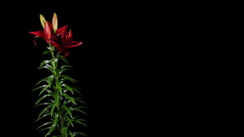 Blooming burgundy lily on the black background (L. purple... Stock Video Footage
