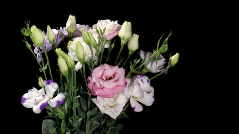 Blooming colorful eustoma on the black background... Stock Video Footage