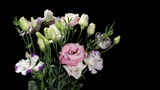 Blooming colorful eustoma on the black background (Eustoma grandiflorum) timelapse Footage