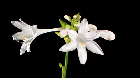 Blooming white hosta on the black background (Hosta.... Stock Video Footage
