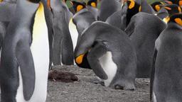 KIng penguin clean himself Footage