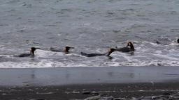 KIng penguin Footage