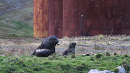 Southern fur seals Footage