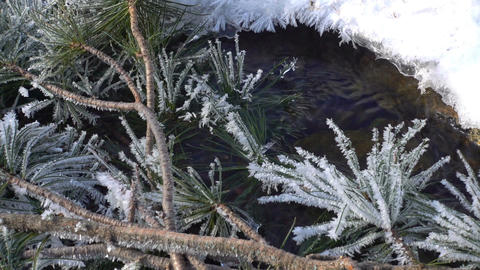 branch of cedar covered with hoarfrost Footage