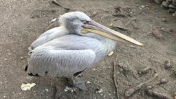 Pelican bird calm and aggressive 画像