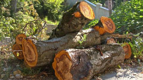 Sawn logs of fruit tree Archivo