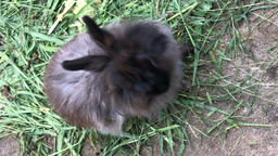 furry rabbit eats grass and grins Stock Video Footage