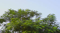 tree and blue sky, sunroof view Live影片