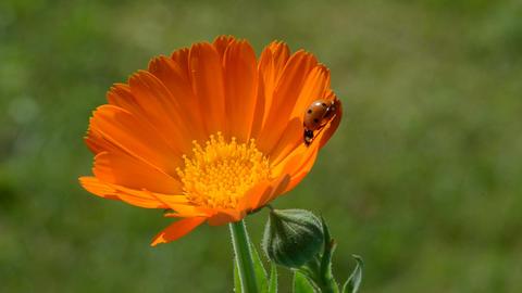 ladybird ladybug on calendula marigold medical flower Footage