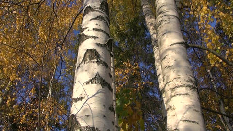 golden autumn birch tree trunk in forest Footage