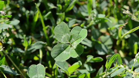 lucky five leaf clover plant Footage