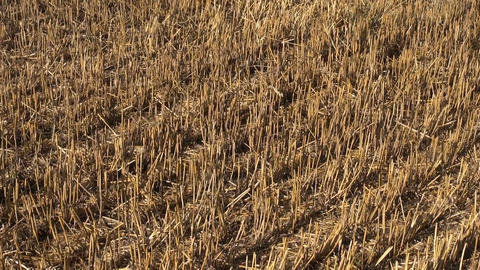 summer end wheat straw stubble after harvesting on farm field Live Action