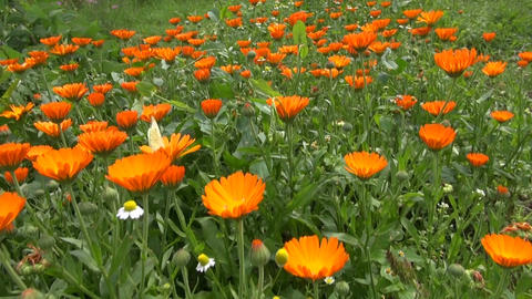 calendula marigold medical flowers blossoms and butterfly Footage