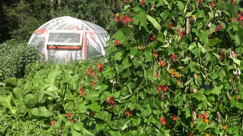 plastic greenhouse hothouse in farm and blossoming beans ビデオ