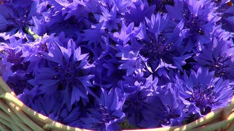 fresh cornflower blossoms in basket on old table ビデオ