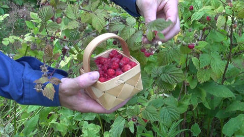 pick wild raspberry in forest Footage