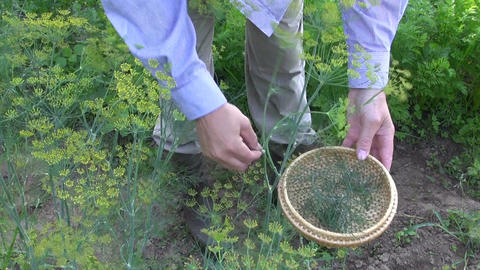 gardener pick fresh dill in garden Live Action