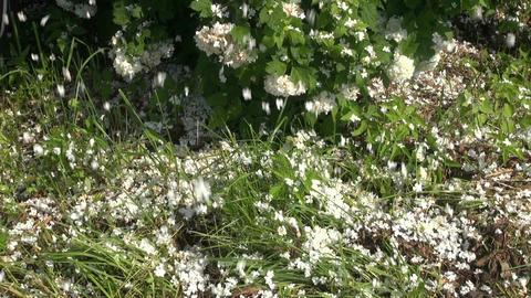 viburnum blossoms petals falling white petal beautiful rain Footage