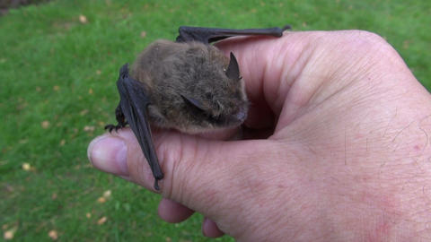 bat Nathusius pipistrelle (Pipistrellus nathusii) in naturalist hands Archivo