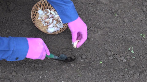 gardener with small shovel planting garlic in garden Live Action