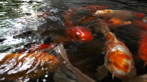 hungry koi fish Footage