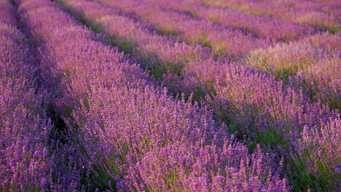 Bushes blooming lavender swaying in the wind Live Action
