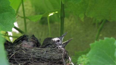 Blackbird chicks waiting beaks open in a nest built on a block of vines their pa Footage
