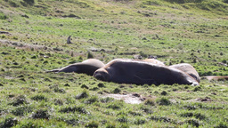 Elephant Seals flock Footage