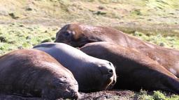 Elephant Seals Footage