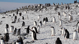 Penguins flock in the snow Footage