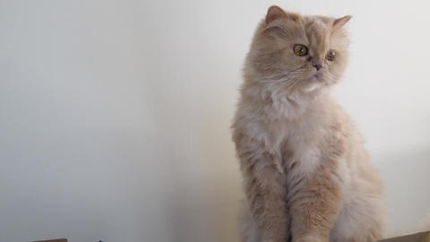 Motion of persian cat sitting on box and watching at people Footage
