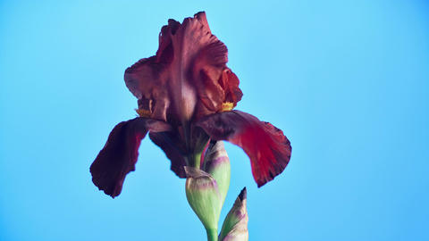 Blooming Iris Flower Stock Video Footage