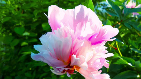 Pink peonies in the garden.Slow motion, movement around the axis of the flower Image