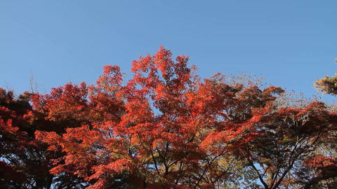 Autumn Leaves / Fall Colors / Tree / Blue Sky - Fix/Tilt Up Footage