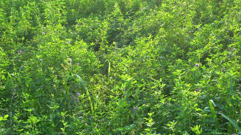 the alfalfa crop Footage