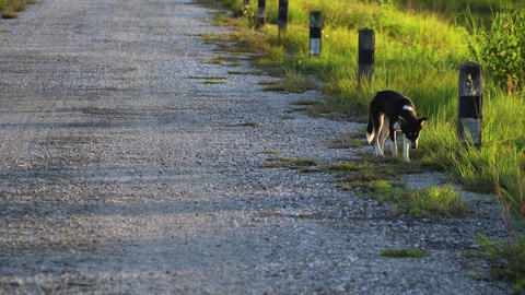 Dog walking alone on the road Footage