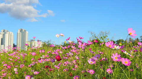 cosmos flower field with blue sky background Footage