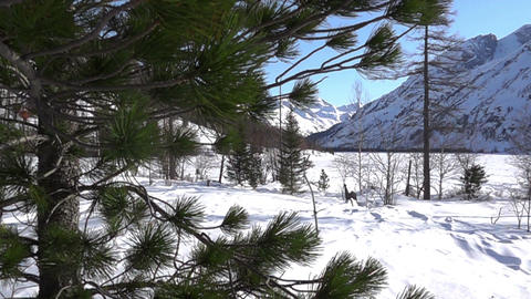 cedar tree and high mountains covered snow Footage
