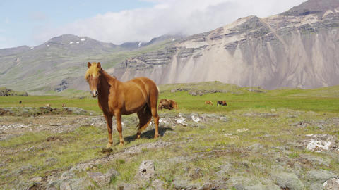 Horse - Icelandic horses on Iceland. Beautiful Icelandic horse standing on field Footage