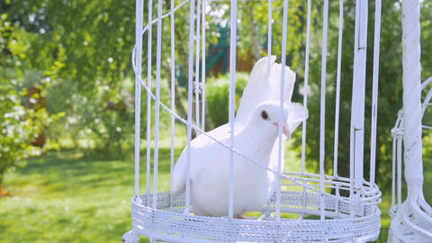 white wedding pigeon wait in a cage on the newlyweds Footage