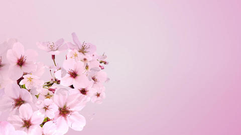 cherry blossom, blooming, pink background Animation