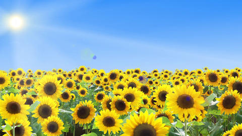 Sunflower field and summer sky, flight 애니메이션